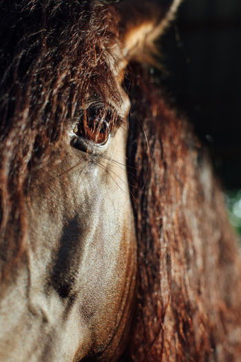 Fresian Animal Animal Body Part Animal Eye Animal Head  Animal Themes Animal Wildlife Animals In The Wild Brown Close-up Day Domestic Animals Equine Eye Focus On Foreground Herbivorous Horse Livestock Mammal Nature No People One Animal Outdoors Selective Focus Vertebrate