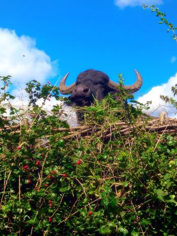 Animal Themes One Animal Low Angle View Sky Beauty In Nature Cloud - Sky Tranquility Animal Head  Nature Buffalo Outdoors Hedge Row Beauty Hedgerow