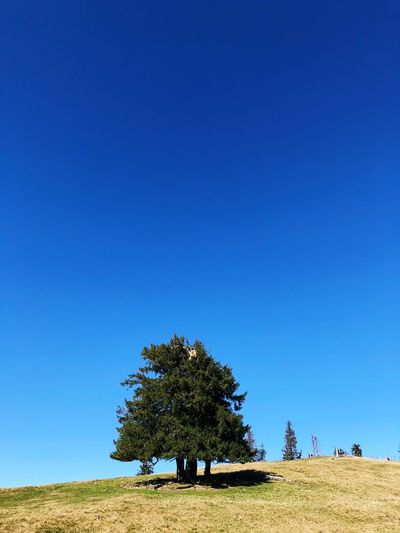 Sky Tree Plant