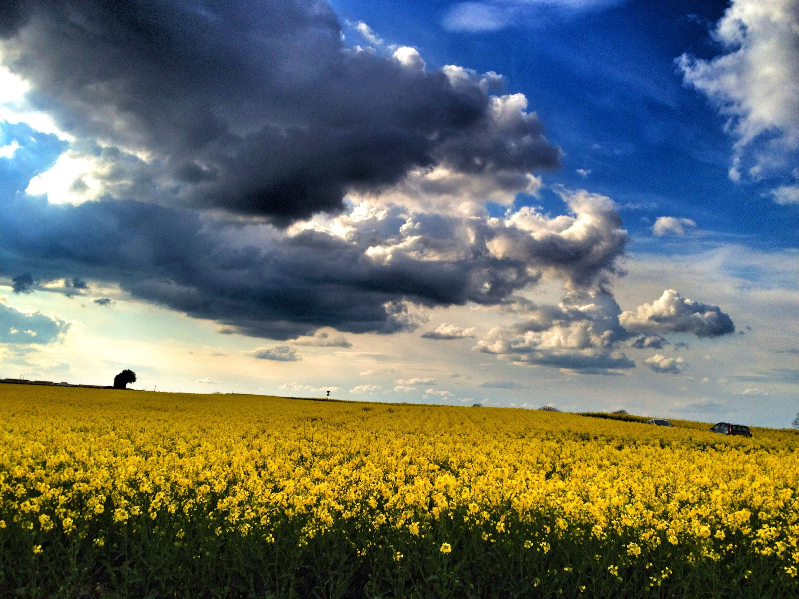flower, yellow, field, sky, rural scene, beauty in nature, agriculture, landscape, cloud - sky, freshness, growth, tranquil scene, nature, cloudy, scenics, farm, tranquility, cloud, fragility, oilseed rape