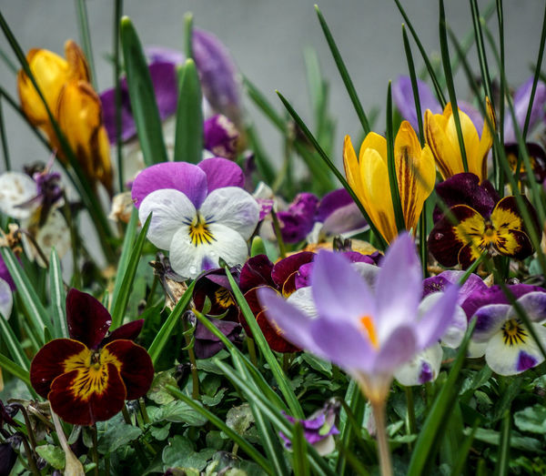 """""""Nature always wears the colors of the spirit."""" – Ralph Waldo Emerson. Natures Colours Cultivated Planted With Love💜 Viola Crocus Multicolors  Multicoloured Eyem Best Shots A Riot Of Colours Spring Colours Flower Head Flower Crocus Petal Purple Close-up Plant Pansy Pollen Stamen Blooming Flowering Plant"""