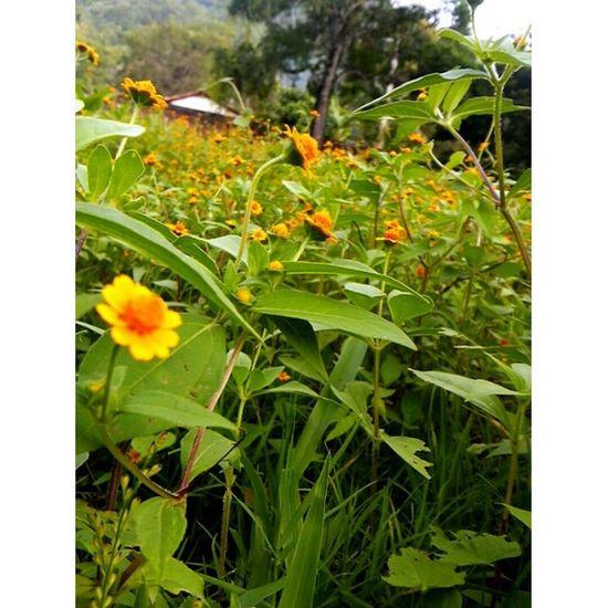 Mini Sunflowers 🌻