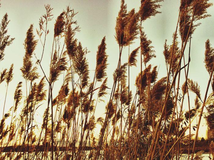 Rushes Grass