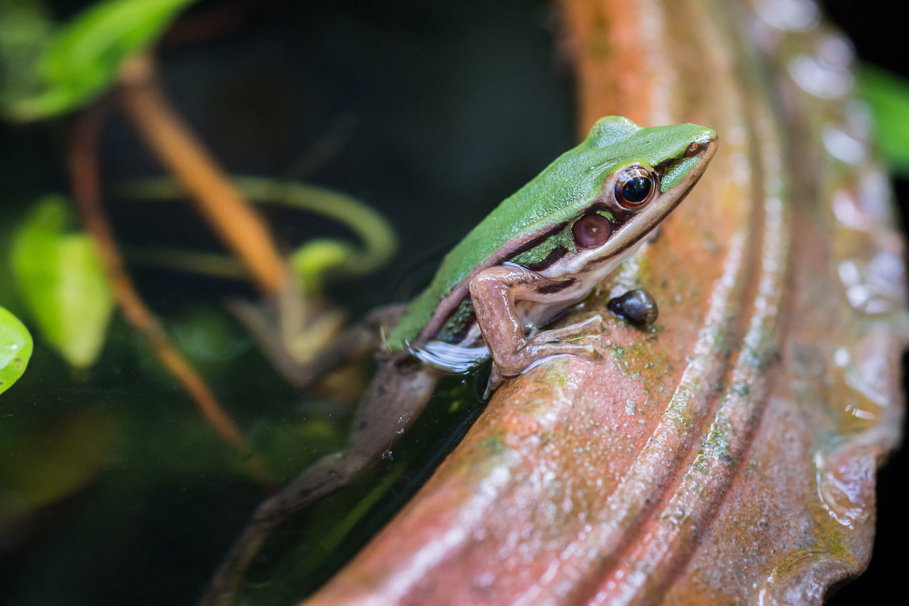 one animal, animal themes, animals in the wild, animal wildlife, green color, reptile, close-up, no people, day, outdoors, leaf, nature