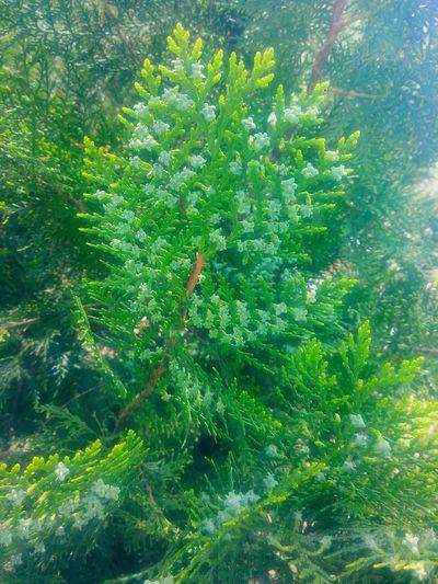 Found On The Roll Mazı çit Bitkileri Hedge Thuja Oksijen