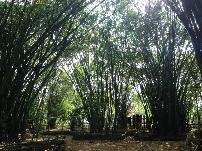 Bamboo - Plant Bamboo Grove Beauty In Nature Day Green Color Growth Nature No People Outdoors Palm Tree Scenics Sky Tranquility Tree