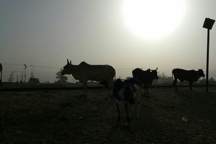 Was gone to buy a Cow for Eid Ocasion Silhouette Taking Photos Eye4photography  From My Point Of View From My Doorstep Silhouette_collection No Edit/no Filter
