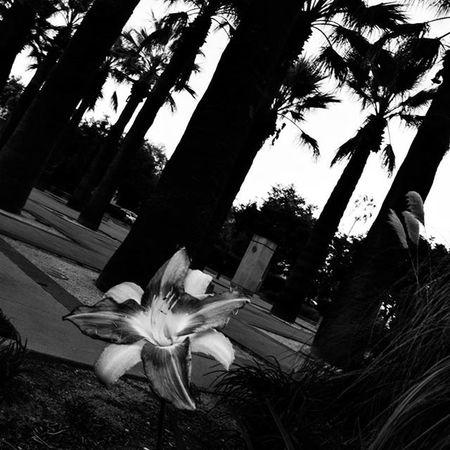 Caltech Palmtrees Flower Bnw Blackandwhite Bnw Bnw_rose Bnw_life Bnw_captures Bnw_worldwide Bnw_world Bnw_society Nikon D3300 Cali California Pasadena  Tilt