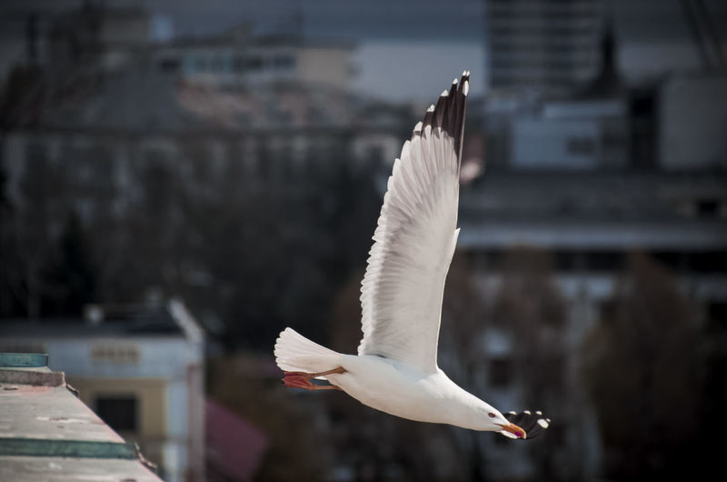 Seagull Flying Against Buildings In City