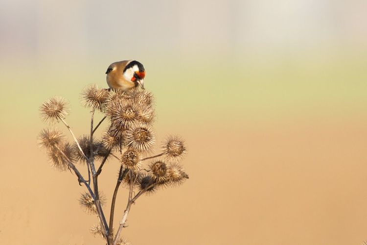 Gold Finch Perching On Plant