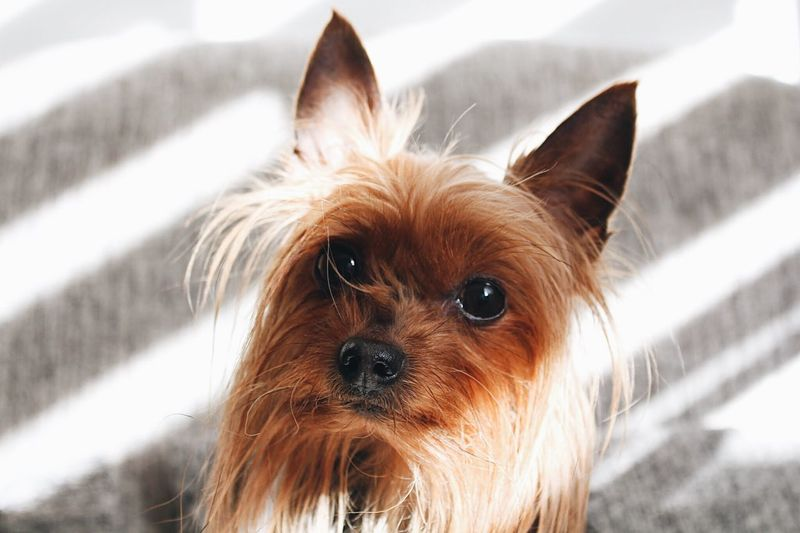 One Animal Animal Themes Animal Mammal Pets Domestic Animals Domestic Portrait Dog Canine Looking At Camera Yorkshire Terrier Close-up Lap Dog Small