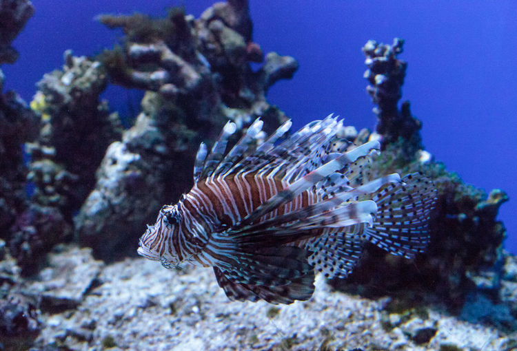 Lionfish Pterois volitans swims on a coral reef. Beauty In Nature Close-up Coral Reef Fish Invasive Invasive Species Lionfish Nature No People Ocean Poison Predator Pterois Volitans Sea Swim Venom