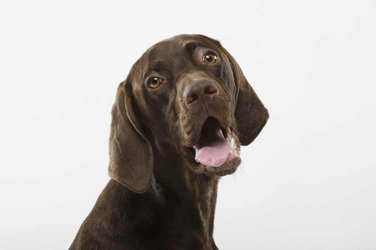 Dogs Expressive Animal Head  Braco Canine Dog Dog Ears Dog Head Dog Head Shot Domestic Animals Facial Expression German Dog German Shorthaired Pointer Looking Mammal Mouth Open No People One Animal Pedigreed Pointer Dog Portrait Purebred Purebred Dog Snout Tongue