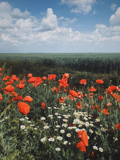 Field of poppies againd blue sky and white clouds White Clouds Blue Sky Green Field Poppies  Flower Flowering Plant Plant Beauty In Nature Growth Vulnerability  Fragility Freshness Cloud - Sky Nature No People Sky Tranquility Day Land Field Flower Head Poppy Inflorescence Red