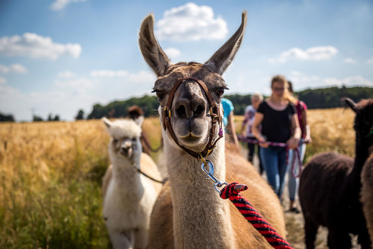 hoi.. Portrait Smiling Agriculture Sky Close-up Alpaca Llama Camel Peru Domestic Cattle Chile