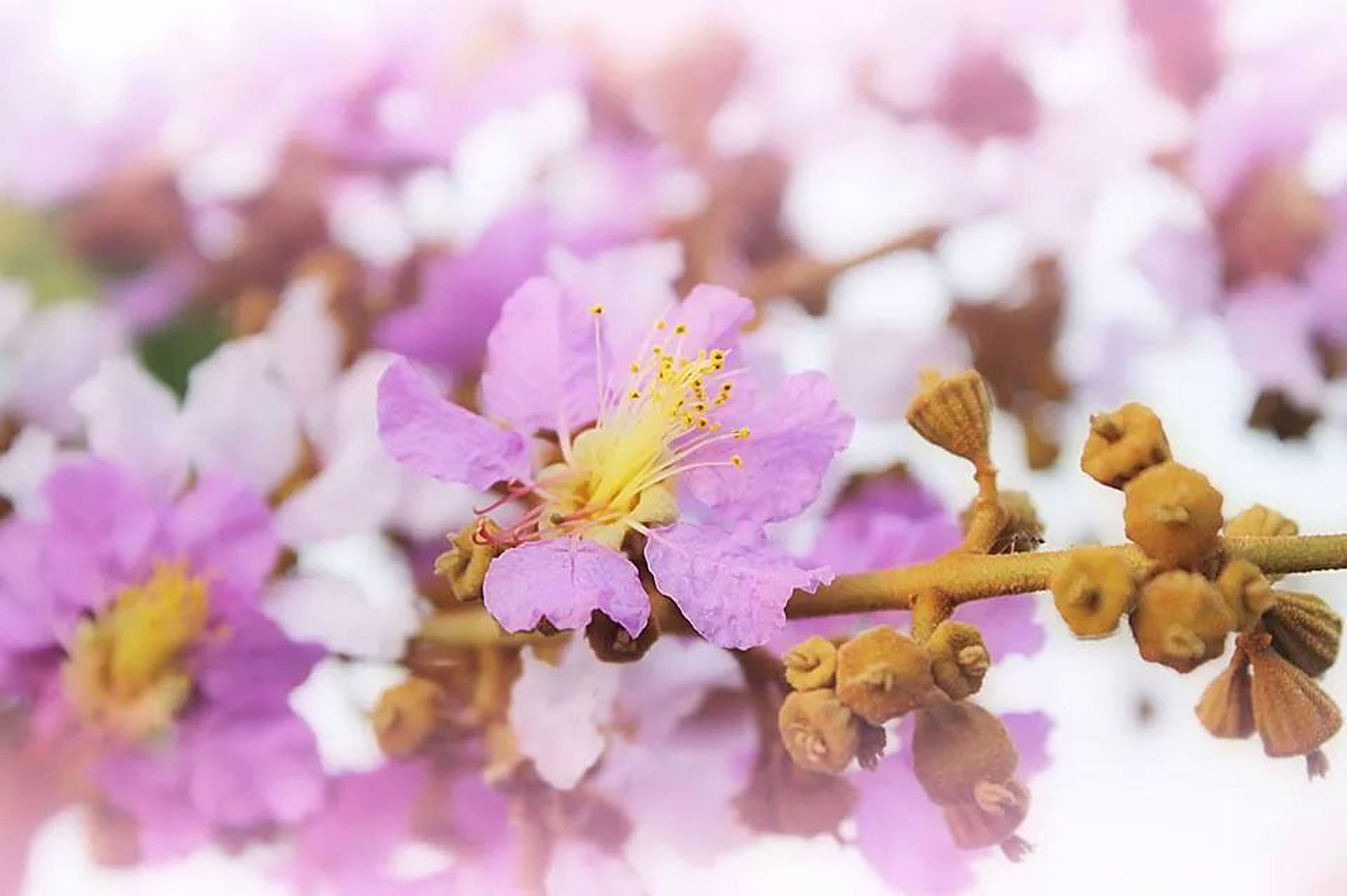flower, freshness, petal, fragility, flower head, beauty in nature, growth, close-up, nature, pink color, pollen, blooming, focus on foreground, selective focus, stamen, blossom, in bloom, springtime, purple, day