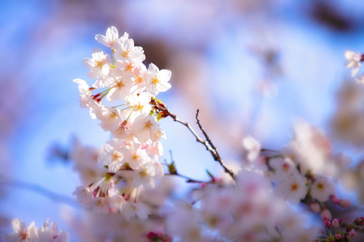 Flowering Plant Flower Plant Freshness Fragility Beauty In Nature Growth Vulnerability  Springtime Blossom Selective Focus Tree Close-up Petal Nature No People Day Cherry Blossom Botany Branch Flower Head Pollen Outdoors Cherry Tree Bunch Of Flowers Hello World Tadaa Community