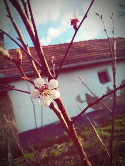 Flowers Peachflower Spring Kajszibarack Virág