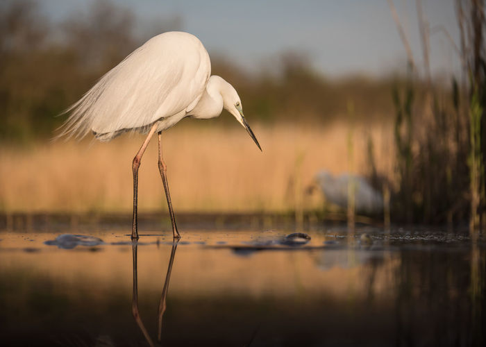 Great egret in lake