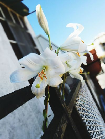 Lillies Growing Wild Flower Nature Lillium Flower