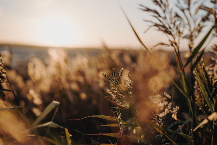 Reed against sunset Plant Field Growth Land Selective Focus Nature Landscape Agriculture Sky No People Rural Scene Beauty In Nature Crop  Tranquility Close-up Cereal Plant Day Environment Wheat Farm Outdoors Stalk Sunset Mood