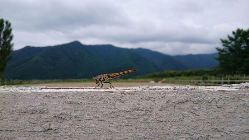 Dragonfly Landscapes Wood Sky Fance
