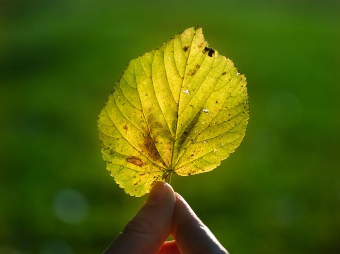 Nature Leaf Day Hand Outdoors Close-up Beauty In Nature One Person Human Hand Focus On Foreground Leaf Vein Rugged Leaf Plant Part Human Body Part Autumn Unrecognizable Person Holding Plant Finger Leaves Autumn Collection Gh5
