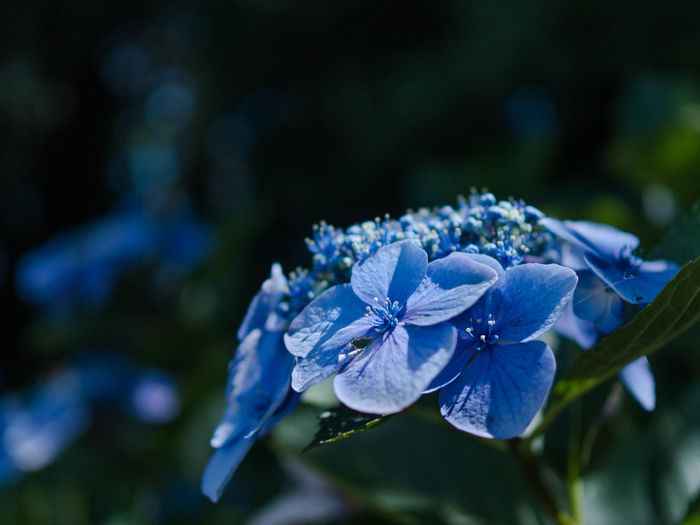 Beauty In Nature Blue Botany Close-up Day Flower Flower Head Flowering Plant Focus On Foreground Fragility Freshness Growth Hydrengea Inflorescence Nature No People Outdoors Petal Plant Purple Vulnerability