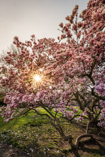 Spring fireworks Springtime Spring Tree Blooming Pink Magnolia Nature Outdoor Flower Blossoms  Plant Beauty In Nature Flowering Plant Sky Pink Color Freshness Lens Flare Tranquility Fragility Branch Sun Sunlight Growth