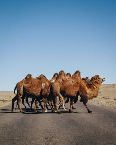 A group of bactrian camel crossing the highway in inner mongolia