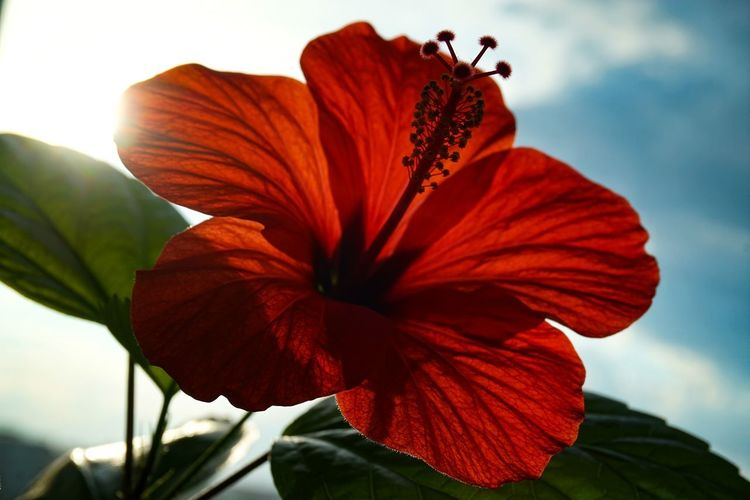Close-up of red hibiscus flower