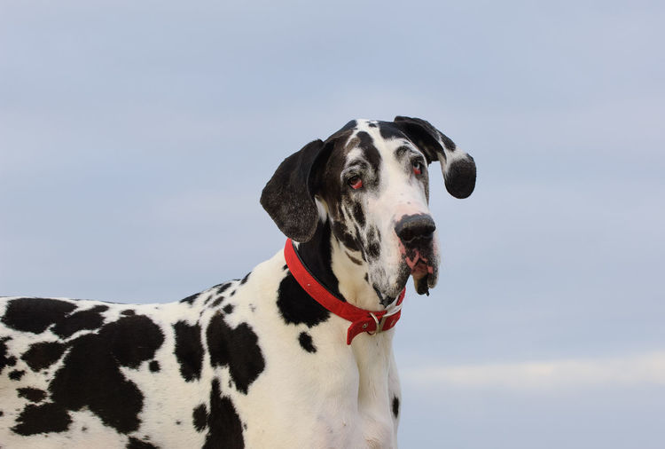 Great Dane dog Great Dane Dog Mammal Canine Pets One Animal Animal Themes Domestic Animals Domestic Outdoors Purebred Dog Looking Animal No People Pet Collar Spotted Harlequin Harlequin Great Dane
