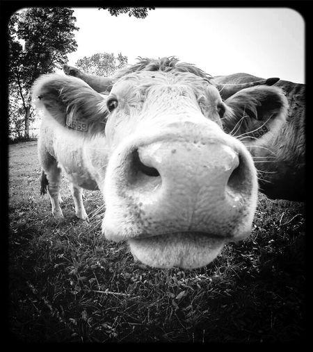 Rencontre d'une après-midi ^^ Cow Vache Vaches Animal