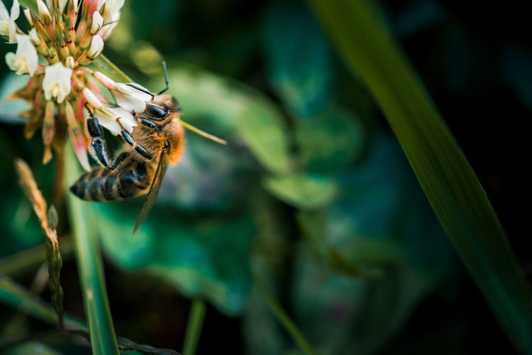 Bee feeding time Animal Wildlife Animals In The Wild Insect Invertebrate Animal Animal Themes One Animal Plant Beauty In Nature Flower Outdoors Pollination Bee Beauty In Nature Flower Head Pollen Close-up Macro Clover Flower Grass White Petals Wings Honey Bee Light