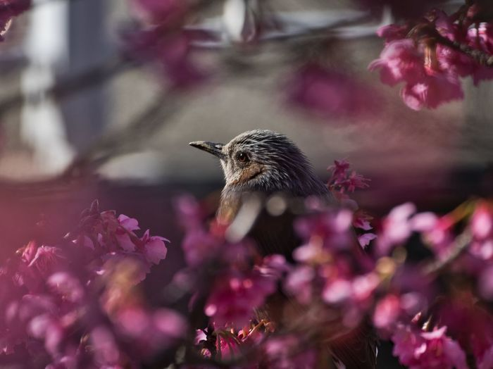Simple Quiet Love EyeEm Best Shots Japan LEICA DG VARIO-ELMAR 100-400 Lumix G9 Blooming Outdoors No People Springtime Selective Focus Close-up Bird Still Life Beauty In Nature Nature Pink Color Cherry Blossom 河津桜 Flowers Flower EyeEm Selects Animal My Best Photo