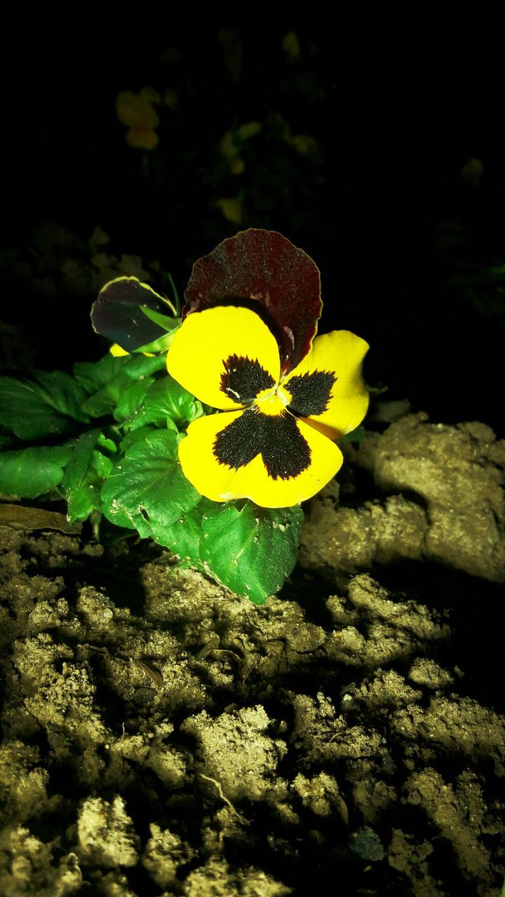 flower, beauty in nature, yellow, fragility, nature, freshness, petal, flower head, growth, plant, no people, close-up, outdoors, day, blooming, undersea