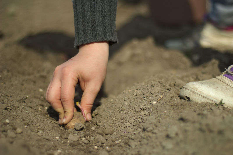 Low Section Of Child Sowing Seed In Soil
