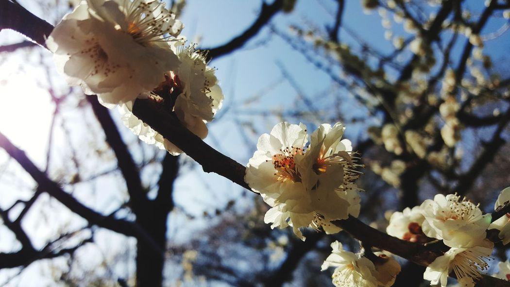 Nature Growth Nature Plum Blossom Flower Flowernature