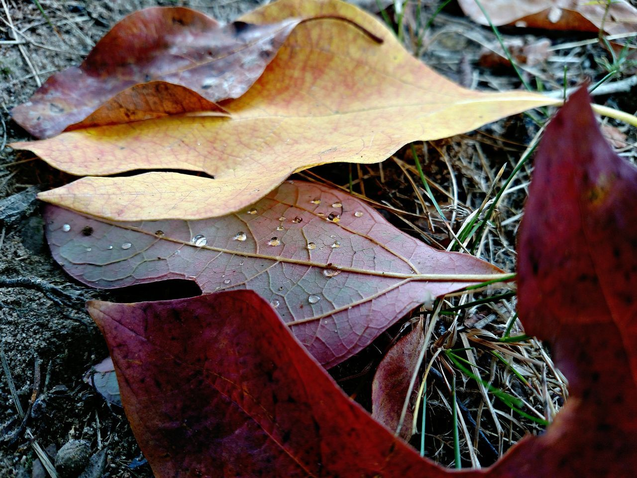 leaf, autumn, change, dry, nature, maple leaf, leaves, maple, fallen, day, outdoors, close-up, fragility, weather, beauty in nature, high angle view, no people, water