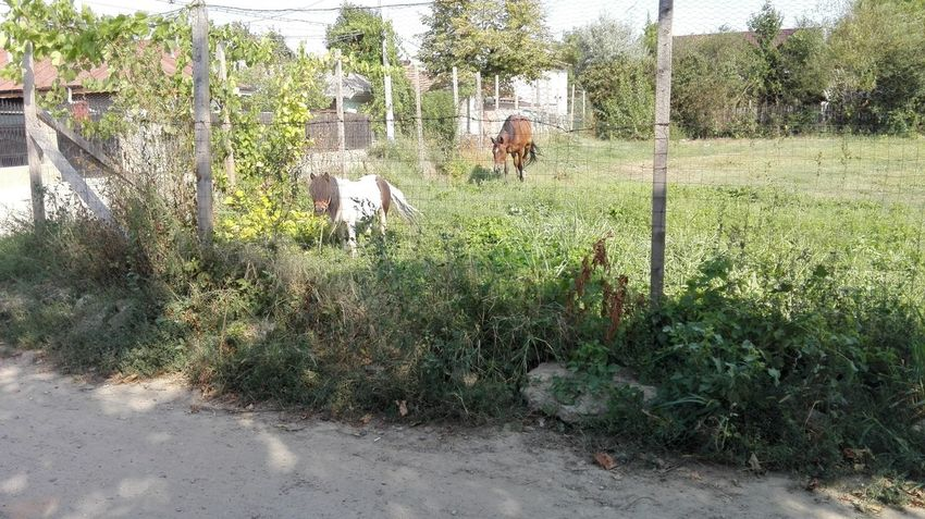 Horse And Pony Grazing Grapevine On Fence Poney Horse Eating Grass Grazing Str. N. Iorga Strada Nicolae Iorga Poney Grazing Chainlink Fence Călărași, România Călărași, Călărași Cal Pônei Pascand Day Outdoors Tree Growth Grass Domestic Animals Animal Themes Nature Sky