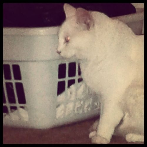 The Roxinator, she'll be back baby! Catsofinstagram Terminator Roxinator Roxiehart roxiebaby whitecats familiar oddeyed