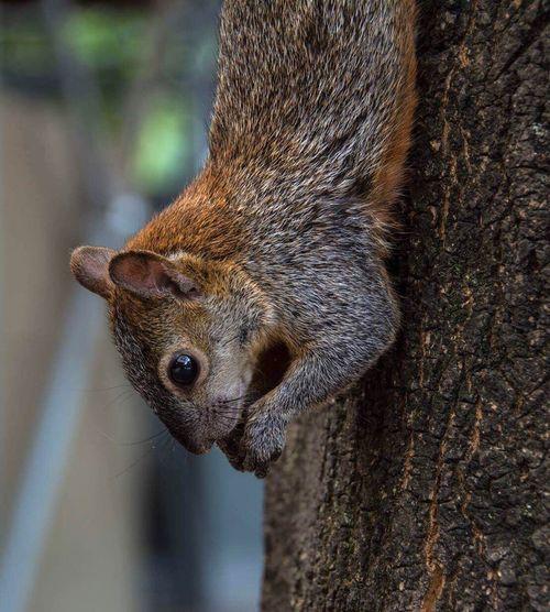 Squirrel Animal Wild Wildlife Wildlifephotography Chapultepec Chapultepeccastle Park Cdmx Mexicocity  Placetogo Placetovisit Travel Travelphotography