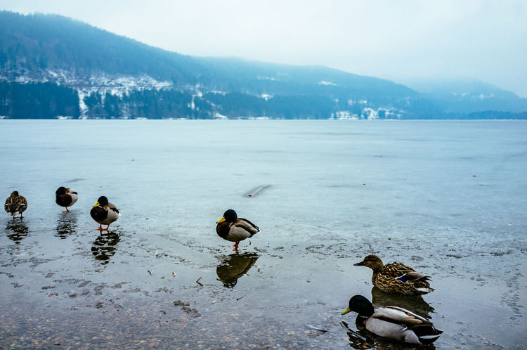 Animal Themes Animals In The Wild Beauty In Nature Bird Day Duck Flock Of Birds High Angle View Lake Medium Group Of Animals Nature Reflection Swimming Tranquil Scene Tranquility Water Water Bird Waterfront Wildlife