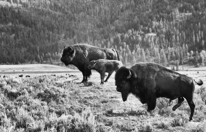 Side view of american bison standing on field against trees