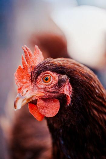 Close-up of a chicken eye