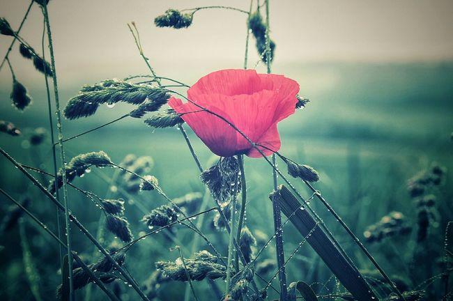 The Essence Of Summer Poppy Flowers Textures Morning Walk Eyemnaturelover