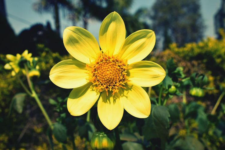Flower Plant Nature Flower Head Petal Yellow Outdoors Beauty In Nature Blossom Freshness Botanical Garden Close-up Growth Fragility Day Beauty