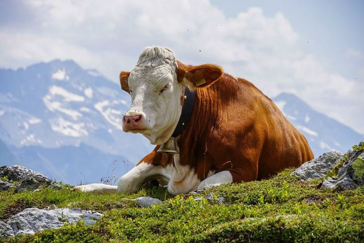 Cow looking away on mountain