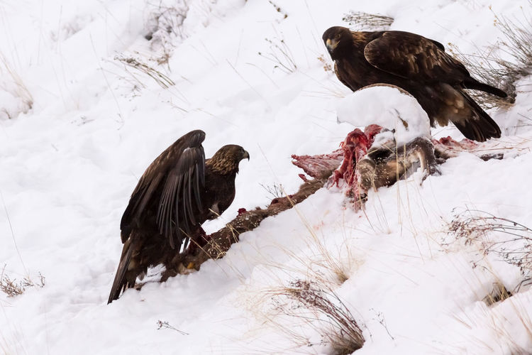 Bald Eagles at carcass Animal Themes Animals In The Wild Bald Eagles Beauty In Nature Bird Bird Of Prey Cold Temperature Day Hunting Jagd Nature No People Outdoors Snow Steinadler Togetherness Weather Winter Wintertime ⛄