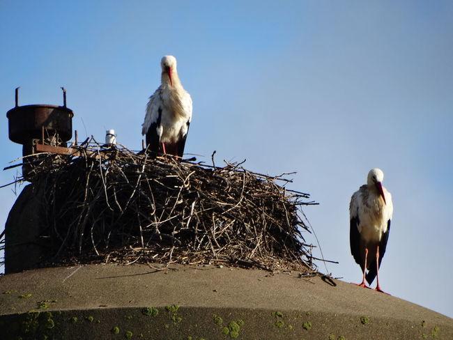Animal Themes Animal Wildlife Animals In The Wild Beak Bird Bird Nest Bird Of Prey Day No People Outdoors Perching Stork White Stork